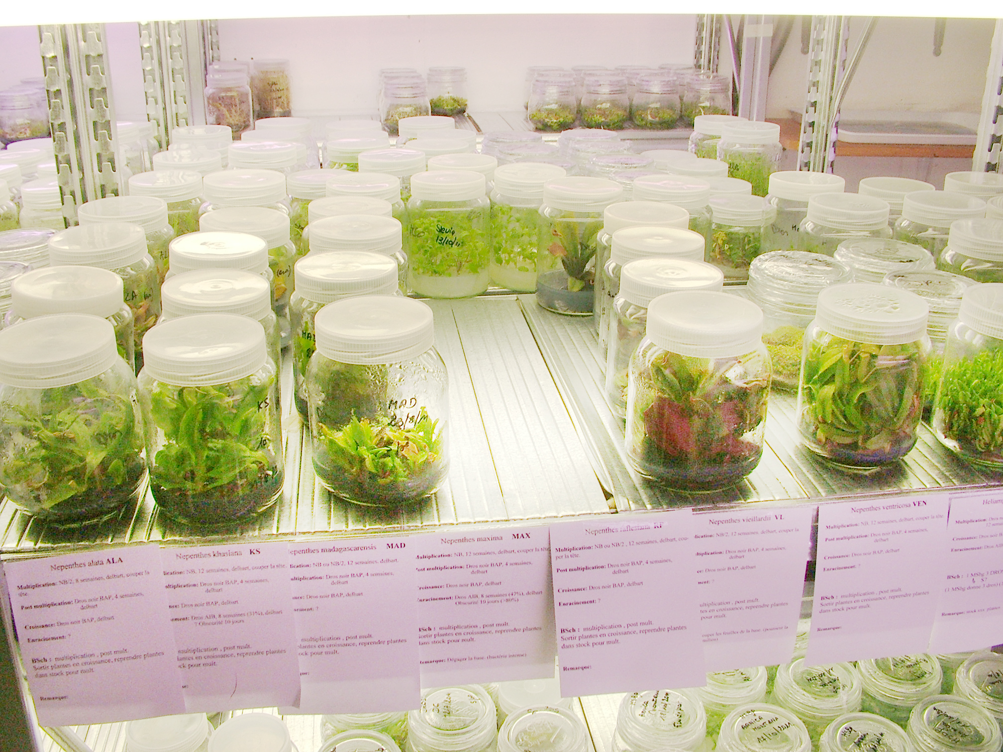 PhytoSYSTEMS in vitro culture